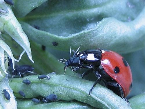 Ladybug devouring aphid