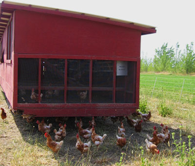 The chickens with their chicken house