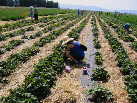 Farmer B picking strawberries in the field at Eatwell