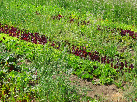 A field of many lettuces at Eatwell Farm