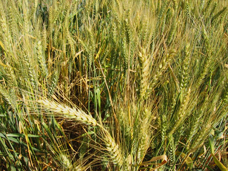 Close-up of wheat growing