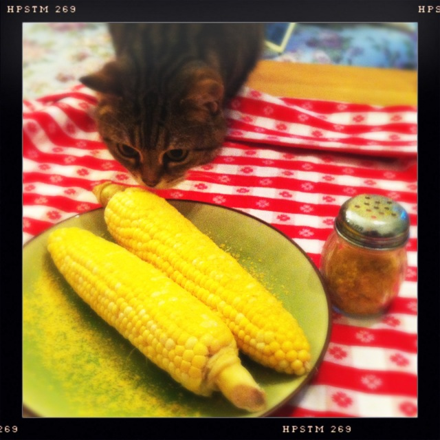 Two ears of corn sprinkled with nutritional yeast, with a grey cat sniffing at them while standing on a red and white checked tablecloth